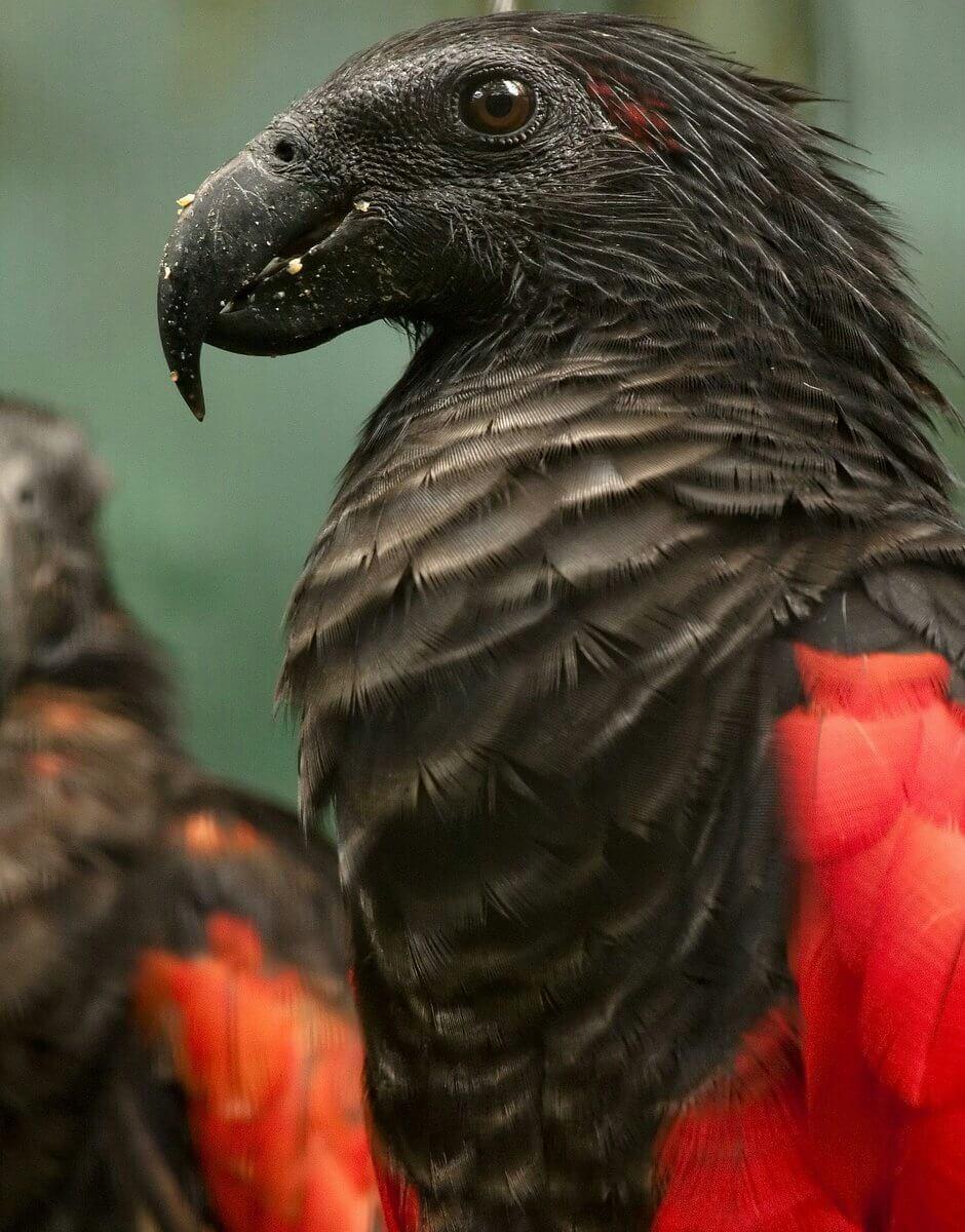 Попугай Дракулы