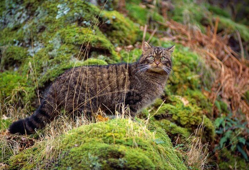 Шотландская дикая лесная кошка