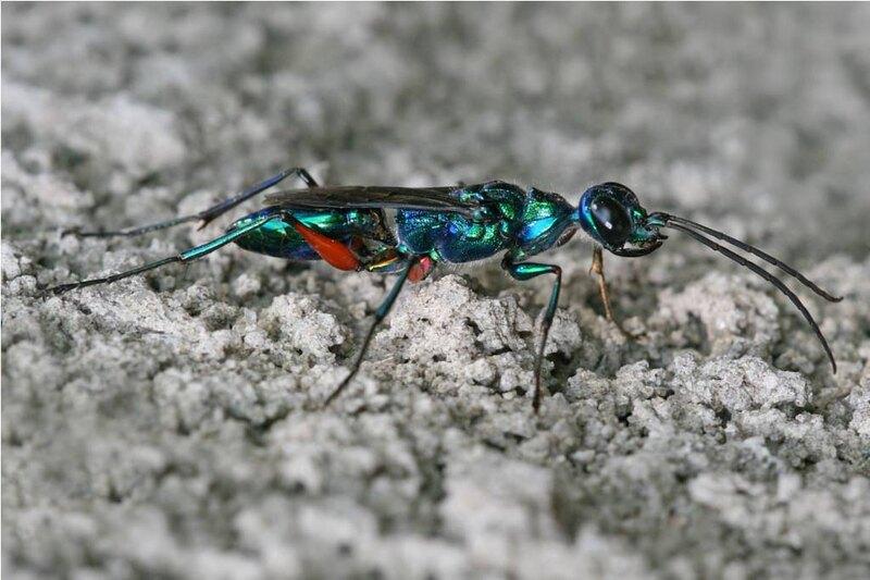 Ampulex compressa, или изумрудная тараканья оса.