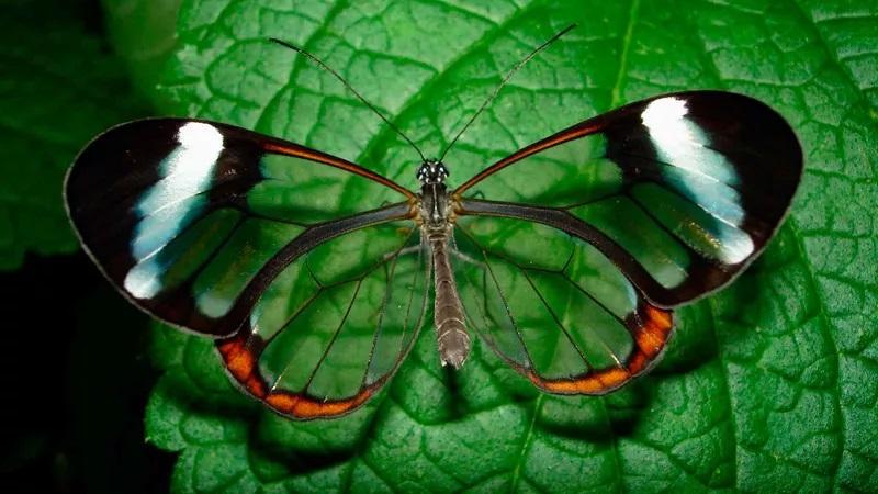 Стеклянная бабочка, или Greta Oto