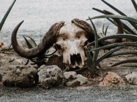 засуха череп