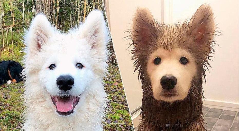 Смешные фото собак до и после прогулки