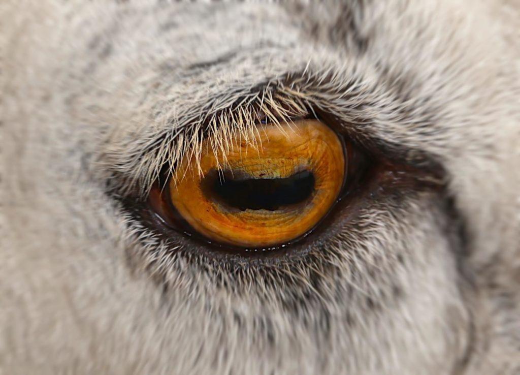 Ресница козы