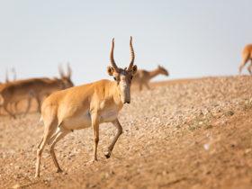 Сайгак степная антилопа