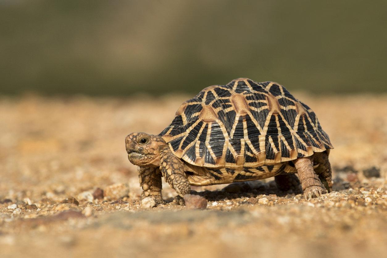 Лучистые черепахи