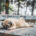 собака мопс лень