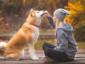 Акита-ину собака