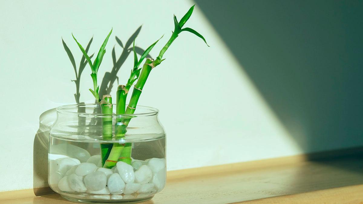 Драцена сандера (комнатный бамбук)