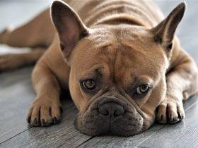 Французский бульдог собака